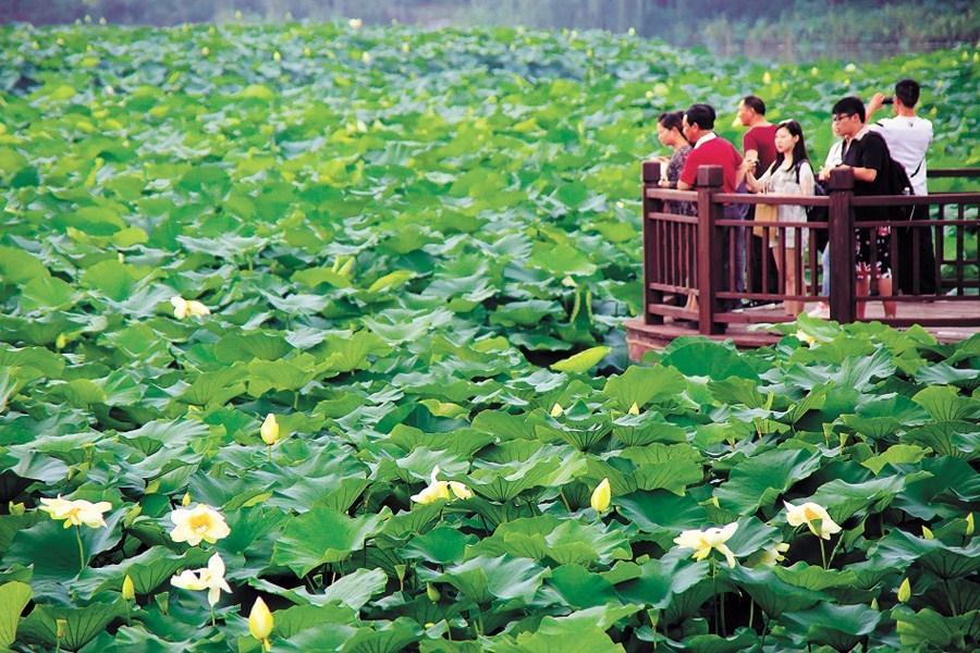 Lotus Festival Puts Spotlight On Celebrated Flower Shanghai Daily
