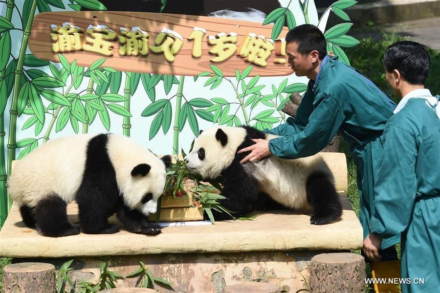Panda Twins Celebrate First Birthday At Chongqing Zoo Shanghai Daily